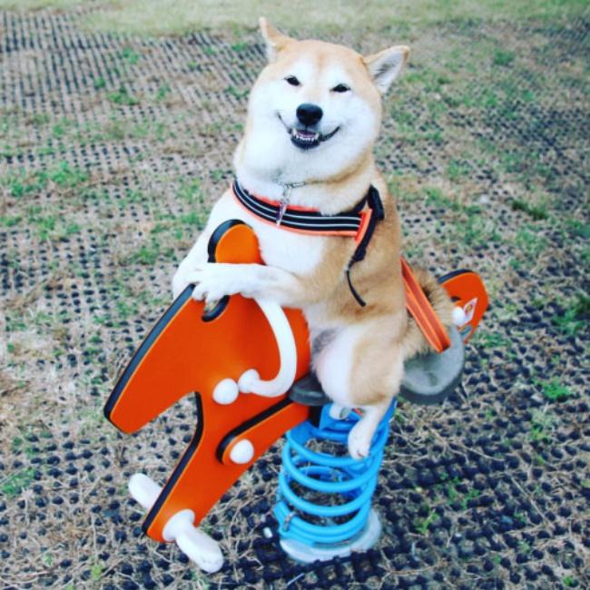 50 sắc thái đáng yêu của chú chó Shiba Inu khi đi chơi công viên - Ảnh 12.