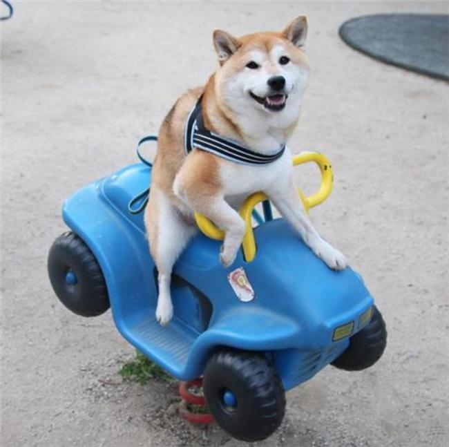 50 sắc thái đáng yêu của chú chó Shiba Inu khi đi chơi công viên - Ảnh 14.