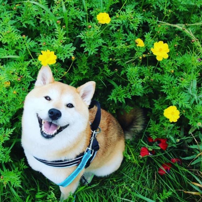 50 sắc thái đáng yêu của chú chó Shiba Inu khi đi chơi công viên - Ảnh 16.
