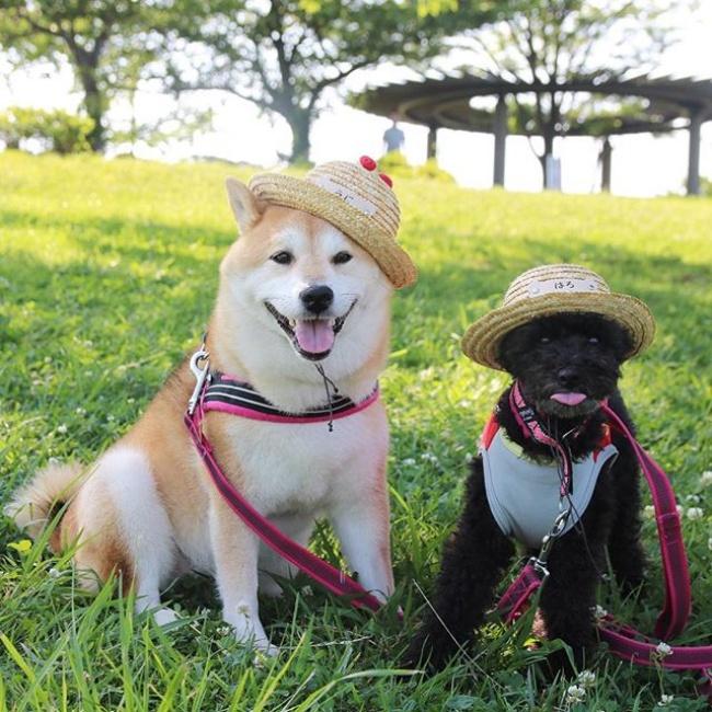 50 sắc thái đáng yêu của chú chó Shiba Inu khi đi chơi công viên - Ảnh 18.