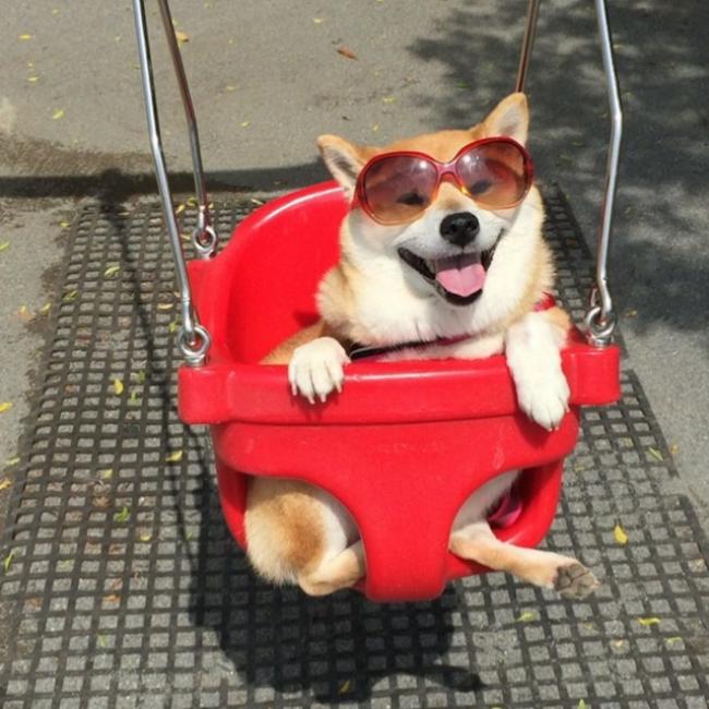 50 sắc thái đáng yêu của chú chó Shiba Inu khi đi chơi công viên - Ảnh 5.