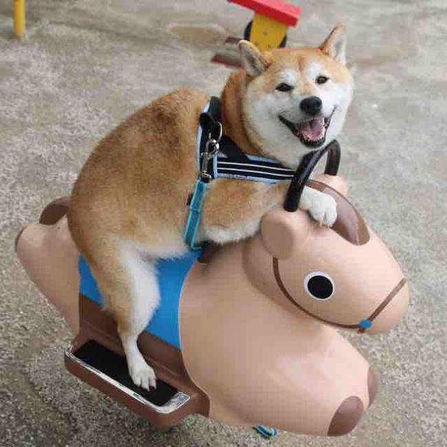50 sắc thái đáng yêu của chú chó Shiba Inu khi đi chơi công viên - Ảnh 8.
