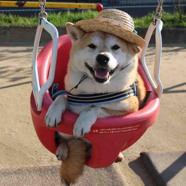 50 sắc thái đáng yêu của chú chó Shiba Inu khi đi chơi công viên - Ảnh 9.