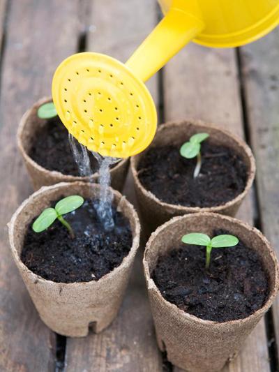 Mẹo trồng hoa hướng dương đơn giản 4