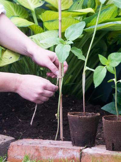 Mẹo trồng hoa hướng dương đơn giản 5