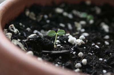 Cách trồng kiwi từ hạt quả kiwi đơn giản4