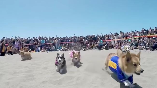 800 em cún chân ngắn làm loạn bãi biển California trong ngày hội Corgi - Ảnh 2.