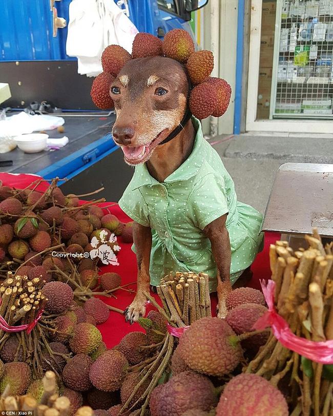 Không liên quan nhưng đây đích thị là cô chó bán hoa quả đáng yêu nhất quả đất - Ảnh 1.