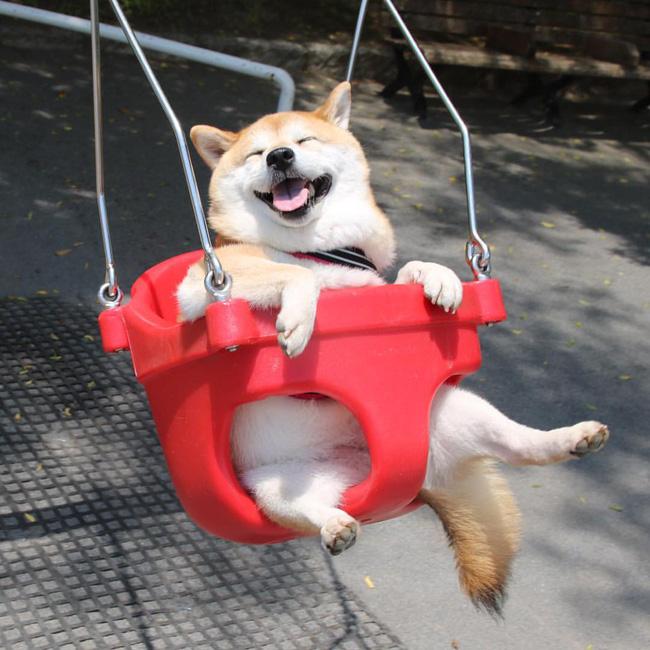 50 sắc thái đáng yêu của chú chó Shiba Inu khi đi chơi công viên - Ảnh 1.