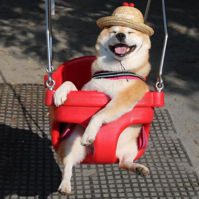 50 sắc thái đáng yêu của chú chó Shiba Inu khi đi chơi công viên - Ảnh 11.