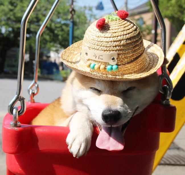 50 sắc thái đáng yêu của chú chó Shiba Inu khi đi chơi công viên - Ảnh 13.