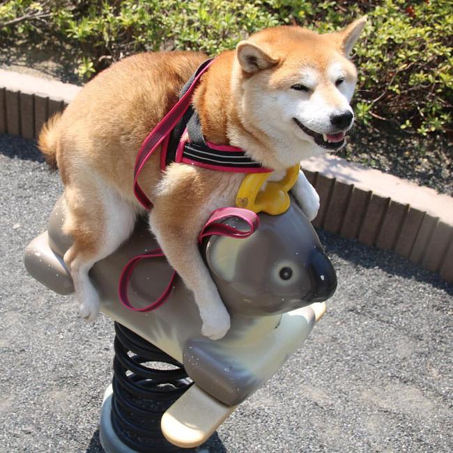 50 sắc thái đáng yêu của chú chó Shiba Inu khi đi chơi công viên - Ảnh 2.
