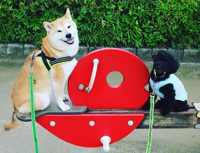 50 sắc thái đáng yêu của chú chó Shiba Inu khi đi chơi công viên - Ảnh 4.