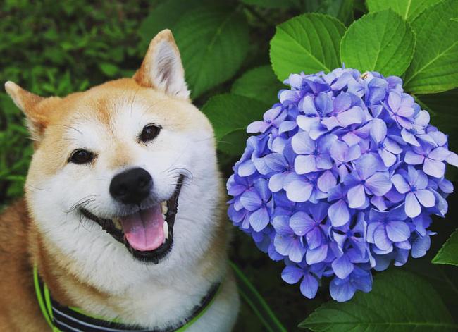 50 sắc thái đáng yêu của chú chó Shiba Inu khi đi chơi công viên - Ảnh 7.