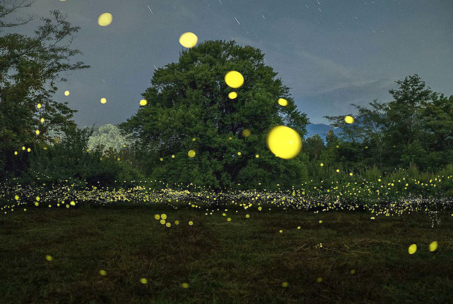 Ghé thăm khu rừng đom đóm huyền ảo như chốn thần tiên ở Nhật Bản - Ảnh 8.