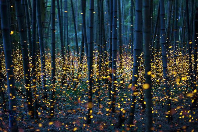 Ghé thăm khu rừng đom đóm huyền ảo như chốn thần tiên ở Nhật Bản - Ảnh 9.