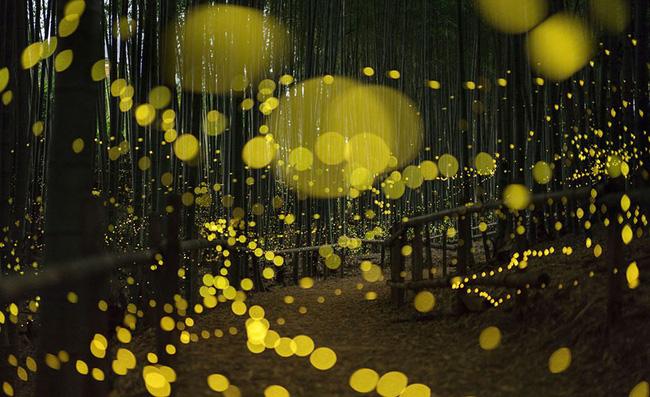 Ghé thăm khu rừng đom đóm huyền ảo như chốn thần tiên ở Nhật Bản - Ảnh 5.