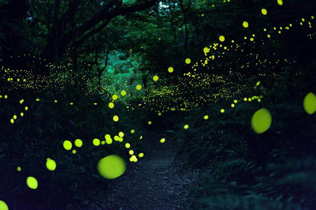 Ghé thăm khu rừng đom đóm huyền ảo như chốn thần tiên ở Nhật Bản - Ảnh 6.