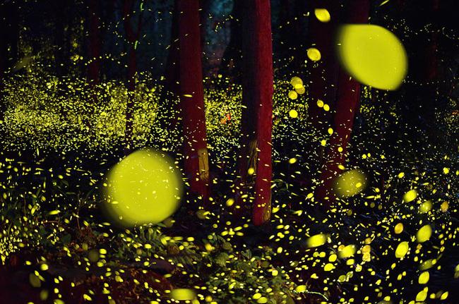 Ghé thăm khu rừng đom đóm huyền ảo như chốn thần tiên ở Nhật Bản - Ảnh 7.