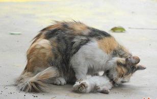 Xót xa cảnh tượng mèo mẹ liếm xác mèo con bị giết chết dã man giữa khu dân cư